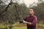Pruning the olives
